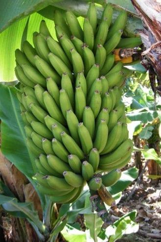 culture-regime-bananes-1